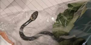 أستراليا: عائلة تعثر على ثعبان حي في وجبة طعام جاهز