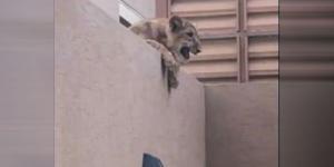 مصرع سعودي تعرض لهجوم أسد قام بتربيته