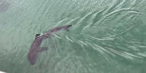 أكبر أسماك القرش تقترب من راكبي الأمواج في بريطانيا… فيديو