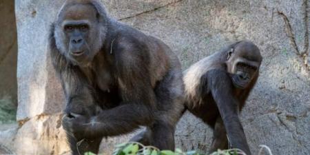 تلقح قردة حديقة حيوانات سان دييغو ضد فيروس كورونا